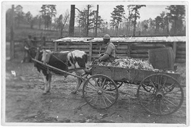 Cow pulling a cart circa 1940
