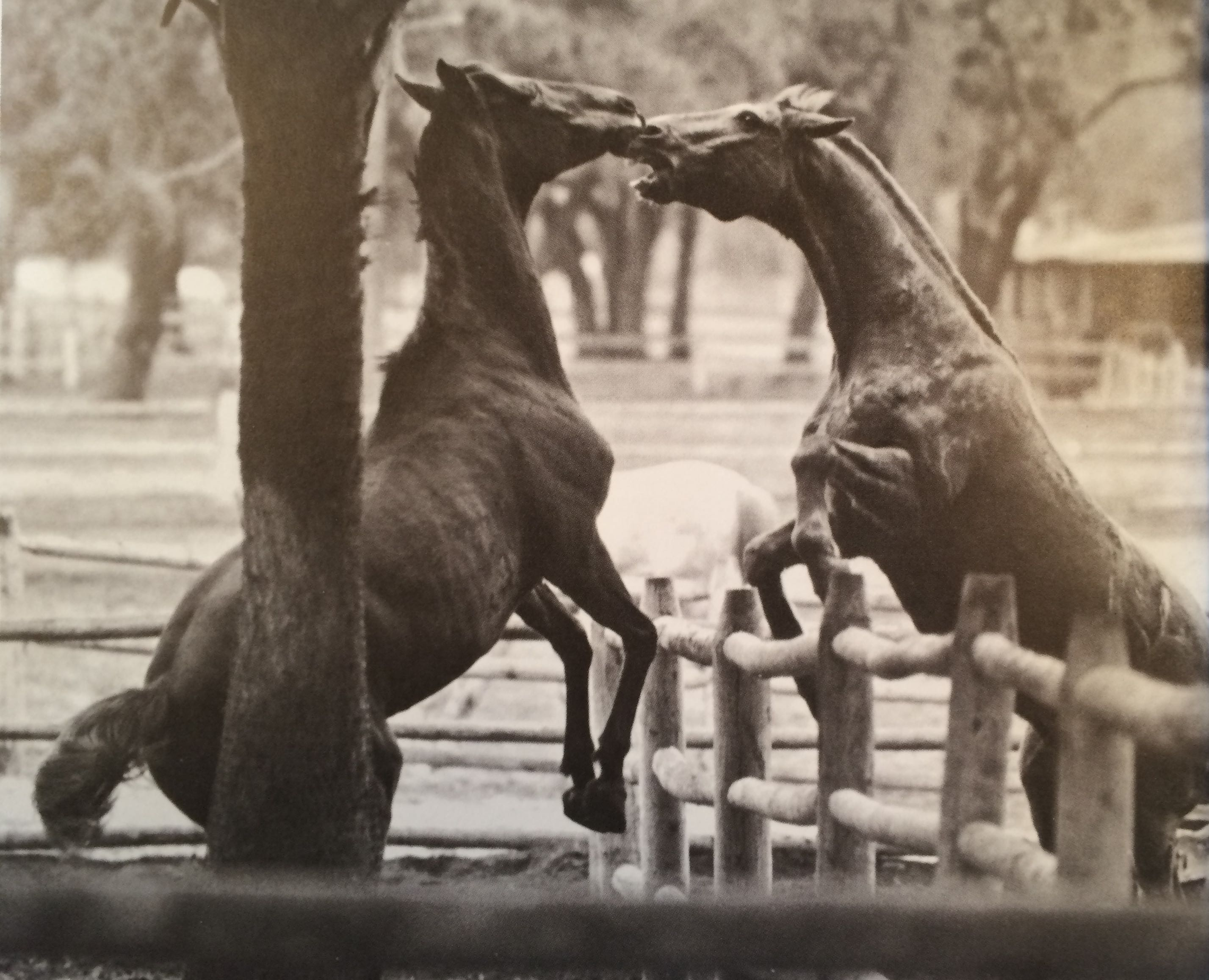 "A photograph of Marsh Tacky horses from Greer's book ""Hilton Head: A Certain Place"""