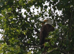 A bald eagle in the trees