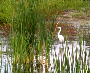 One of the residents at Ibis Pond