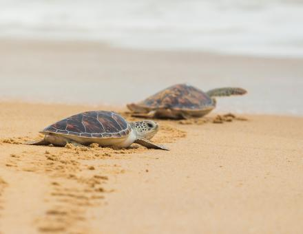 Two sea turtles on the beach
