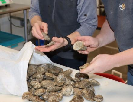 Fresh Oysters from Russo's Fresh Seafood Bluffton for Oyster Stout at Winterfest Oyster Roast 2021 with lot 9 brewing co.