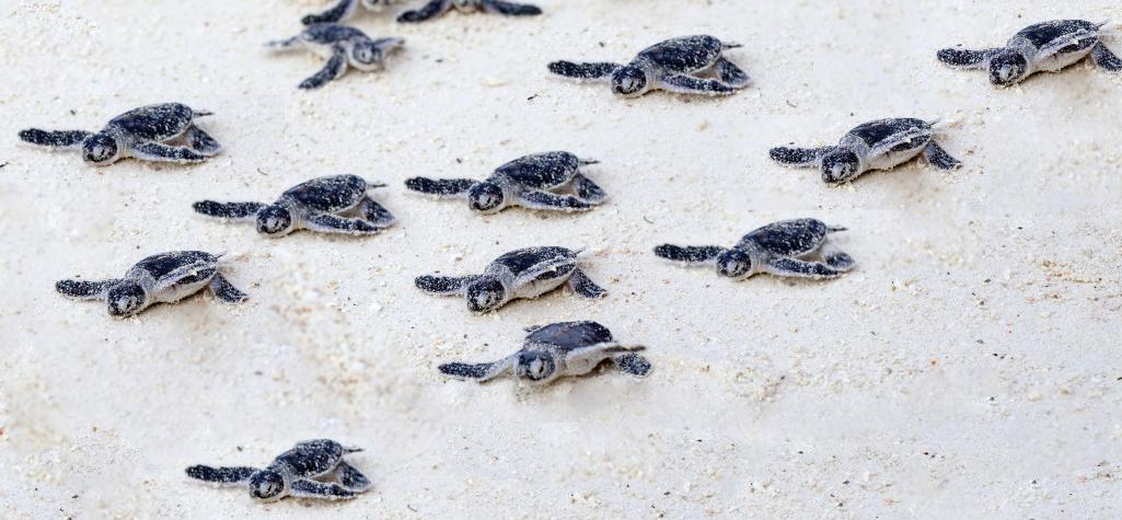 Group of sea turtle hatchlings