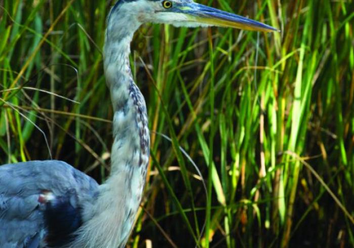 A great blue heron in front of tall grass