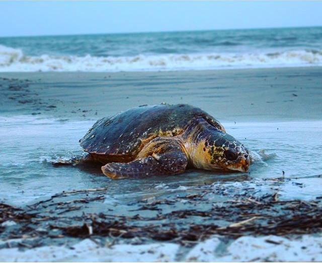 sea turtle on beach