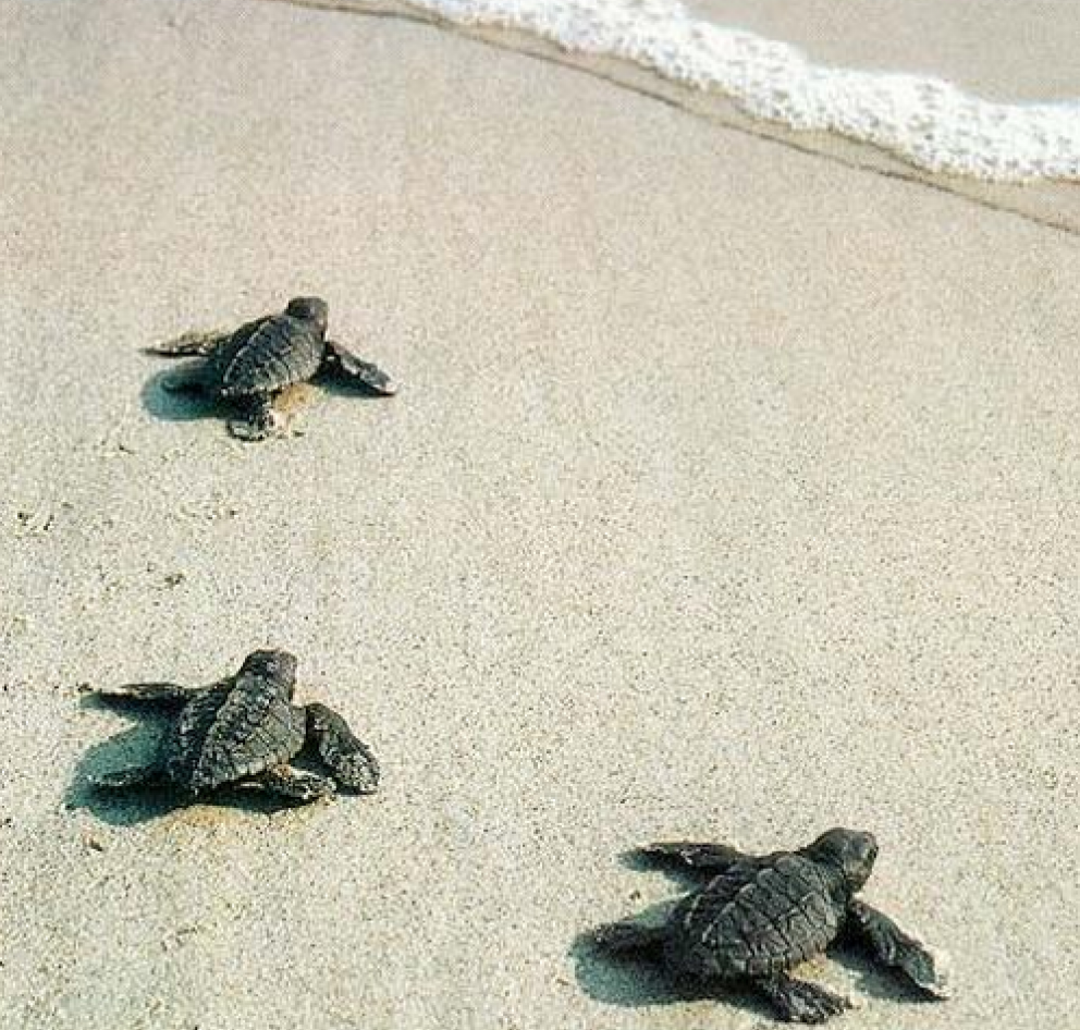 Three baby sea turtles crawling to the ocean on Hilton Head Island