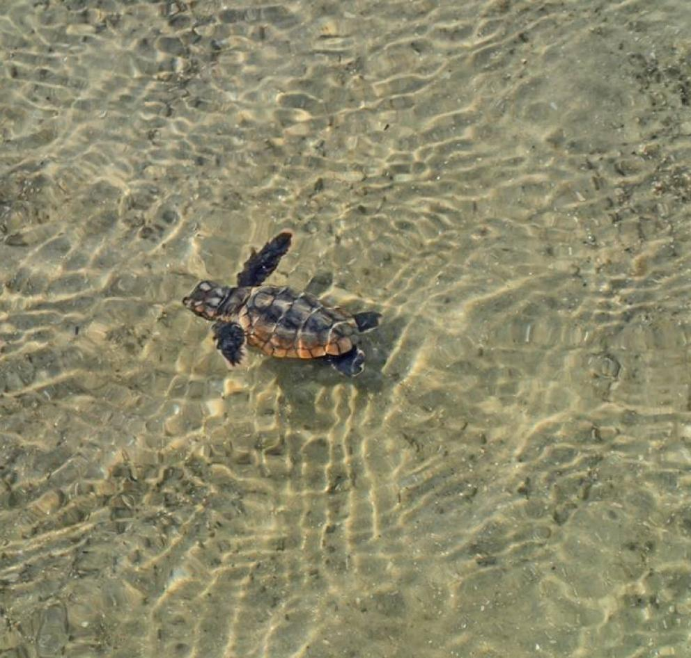 Baby loggerhead sea turtle making its way to the ocean on Hilton Head Island