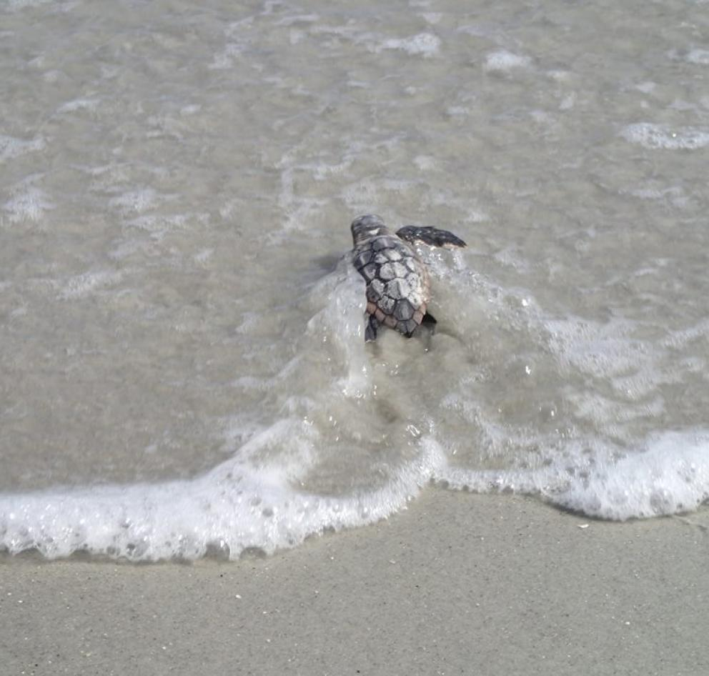 Baby loggerhead sea turtle making its way to the ocean