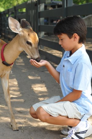 Young fawn eats out of the hand of a young boy