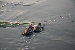 Sea Turtle hatch-lings heading into the water
