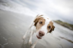 Ginger, a local pup, loves her time on the beach!