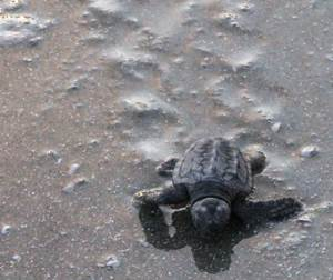 A hatchling begins its journey to the Gulf Stream leaving little turtle tracks in the sand