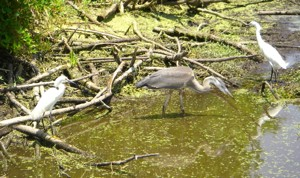 Heron and egrets